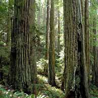 Redwoods in the Western United States